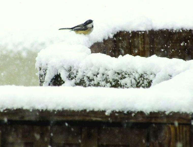 Birds in snowstorm 025