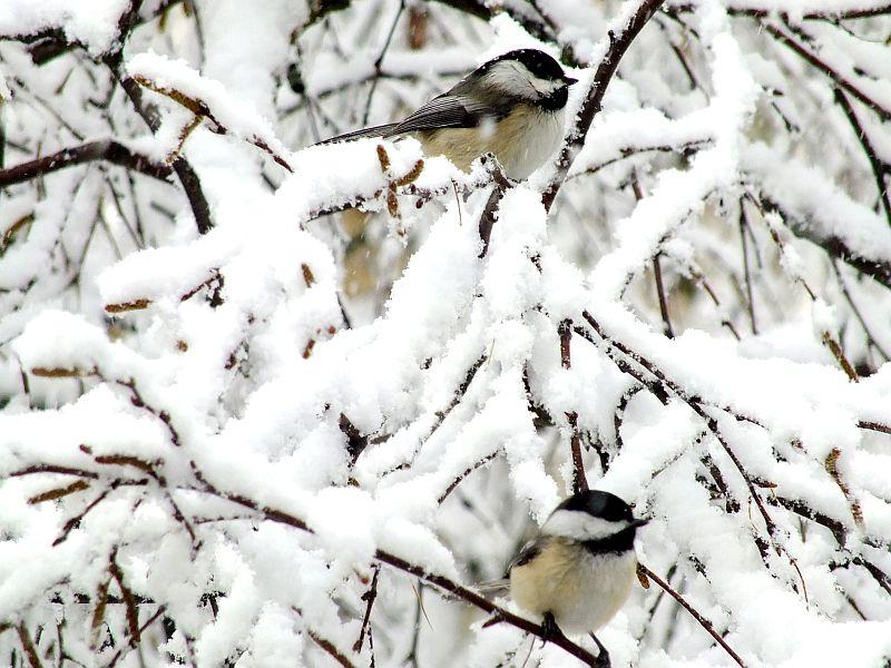 Birds in snowstorm 042