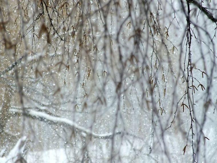 hawk, birds, snow 010