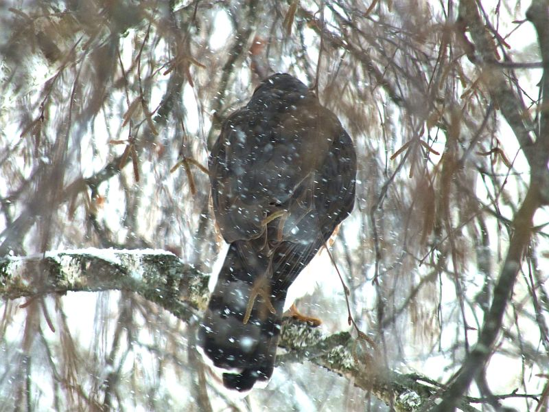 hawk, birds, snow 018