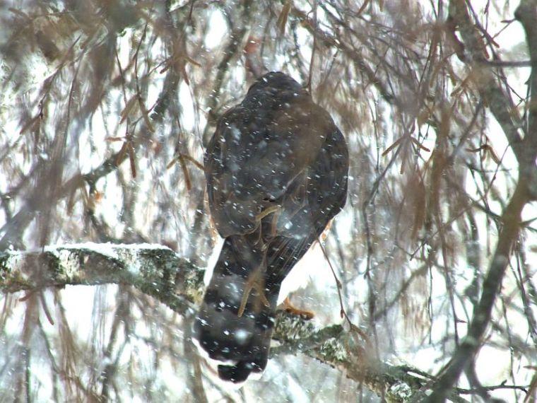 hawk, birds, snow 018