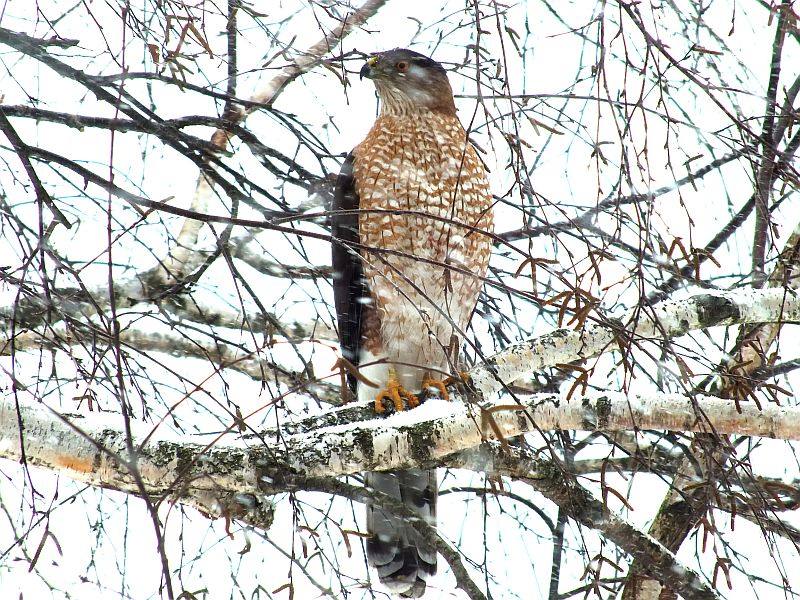 hawk, birds, snow 029