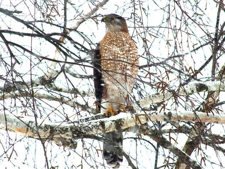 hawk, birds, snow 029