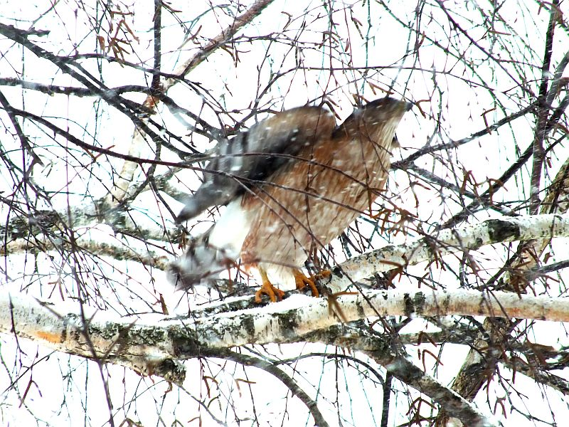 hawk, birds, snow 030