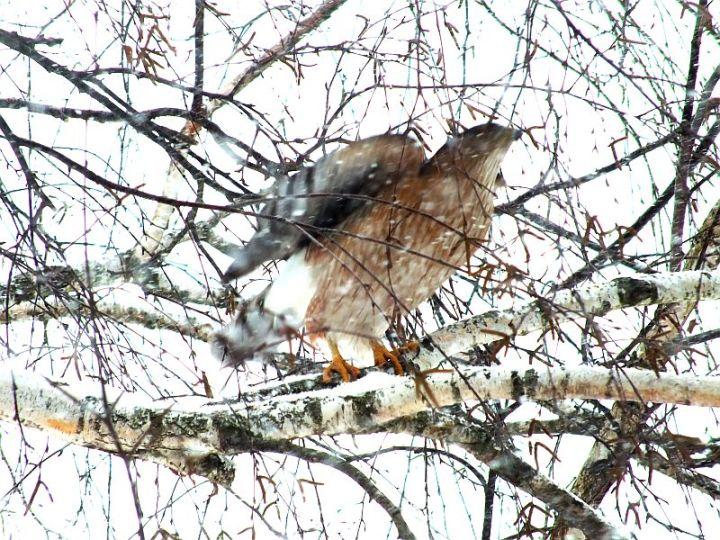 hawk, birds, snow 030