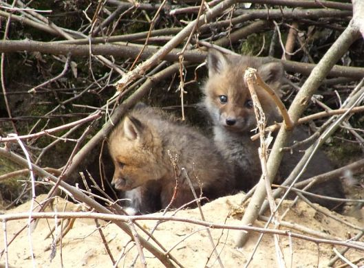 Little foxes, early bees, squirrel, chipmunk, spring 062