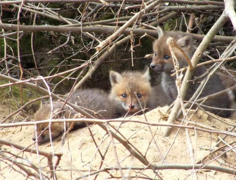 Little foxes, early bees, squirrel, chipmunk, spring 064