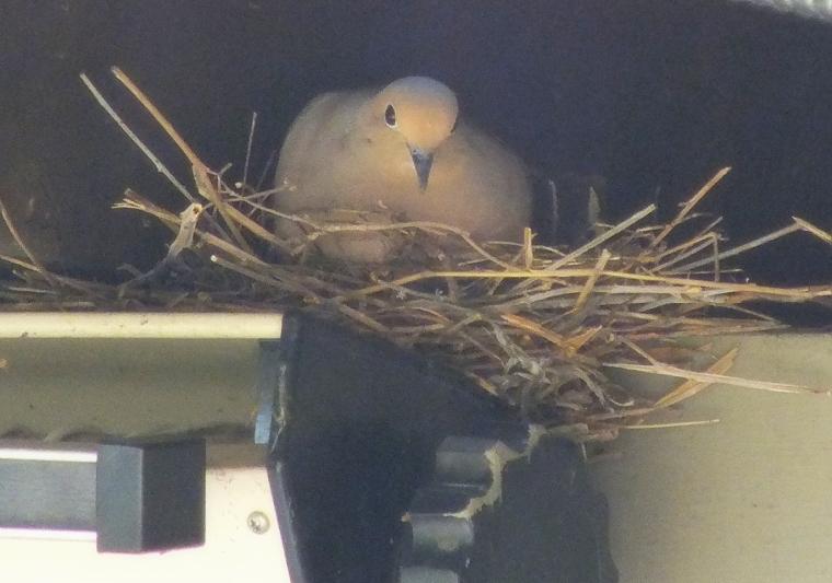 sandill crane, mourning dove, gardens 035