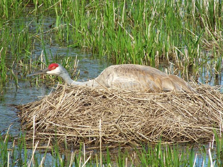 sandill crane, mourning dove, gardens 059