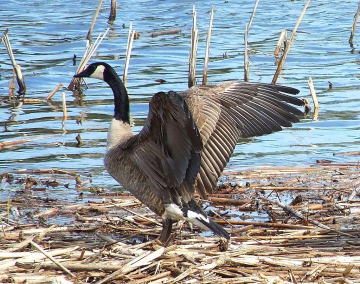 sandill crane, mourning dove, gardens 066