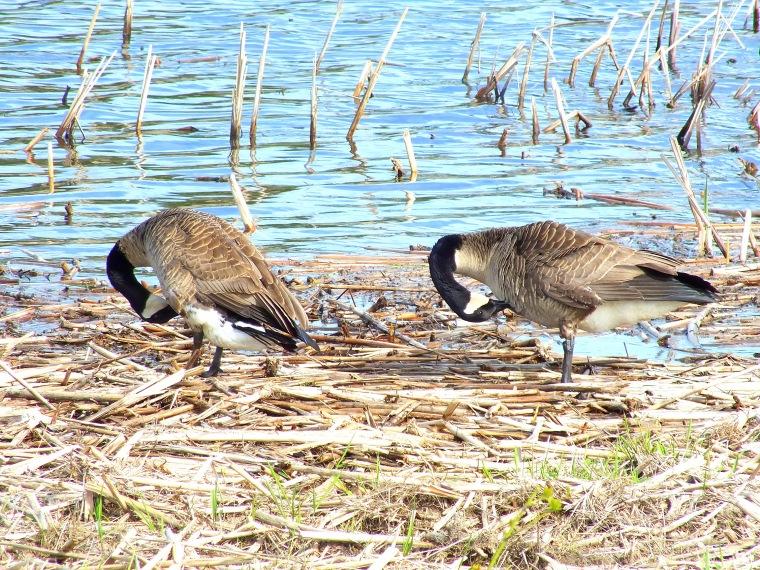 sandill crane, mourning dove, gardens 067