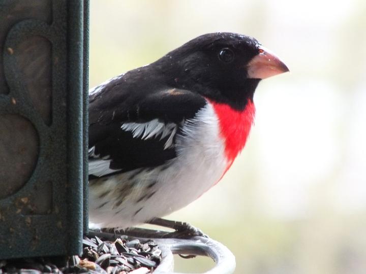 Spring birds 011