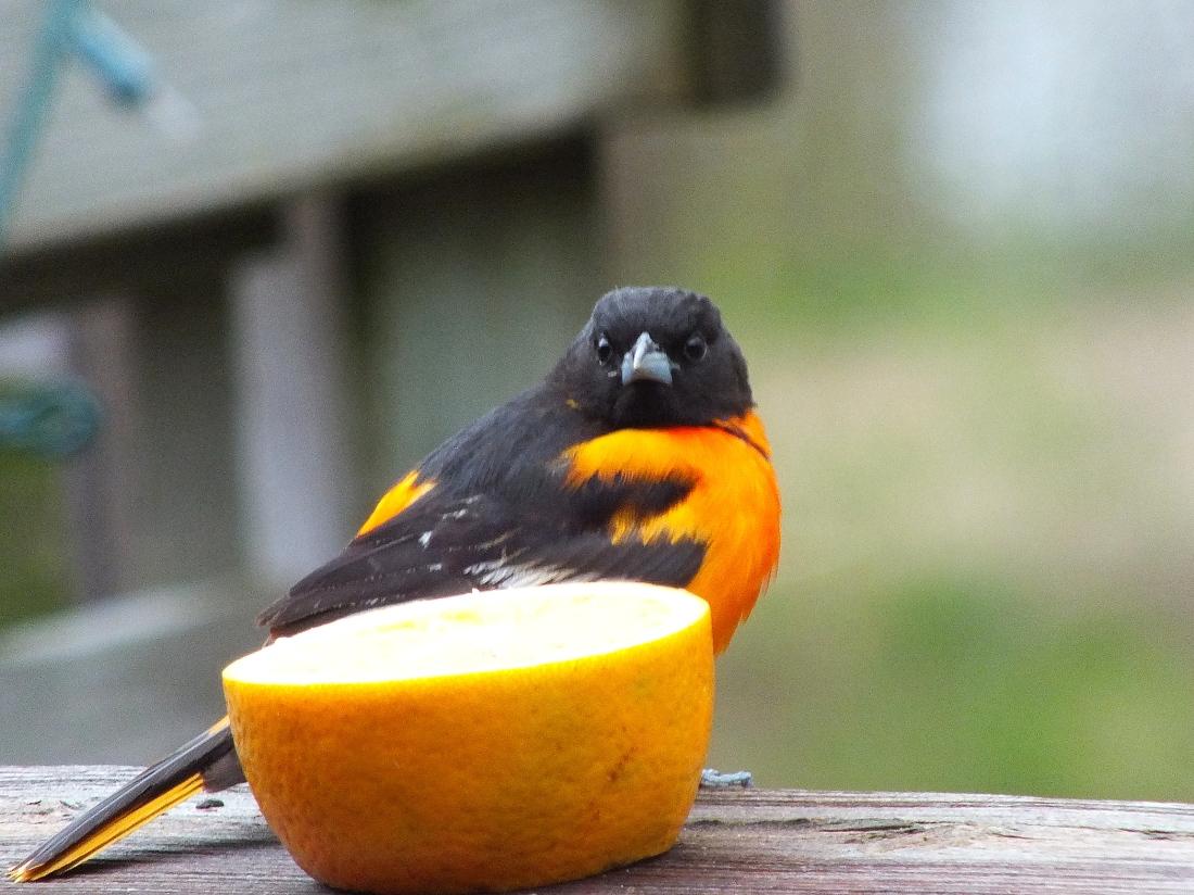 Spring birds 017