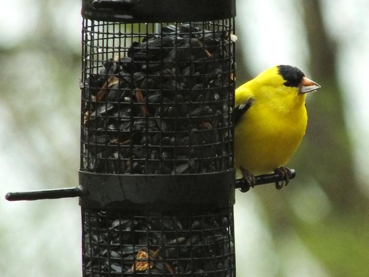 Spring birds 025
