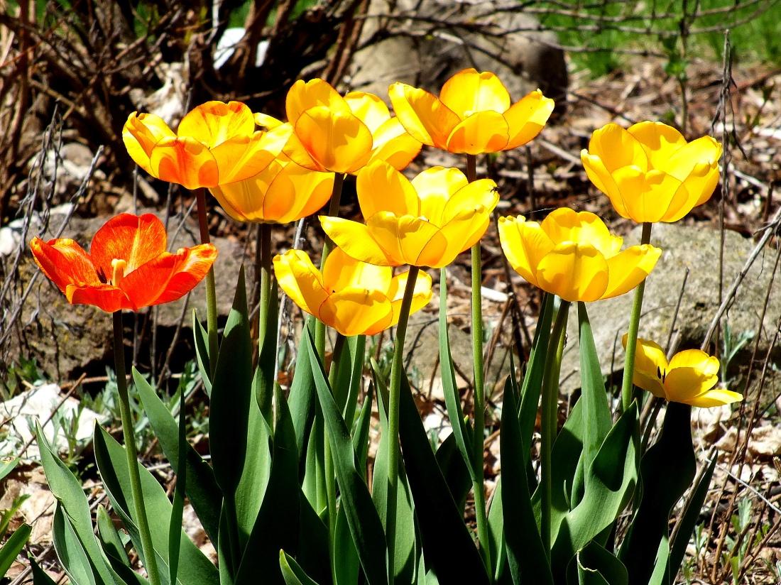 Tulips, Birds, 4-Leggeds 014