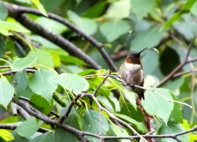 hummingbird, cardinal, lightning bugs 001
