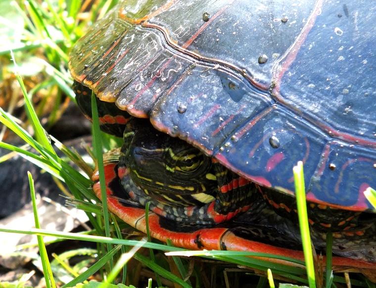 Turtle, bike ride, deer, gardens 003