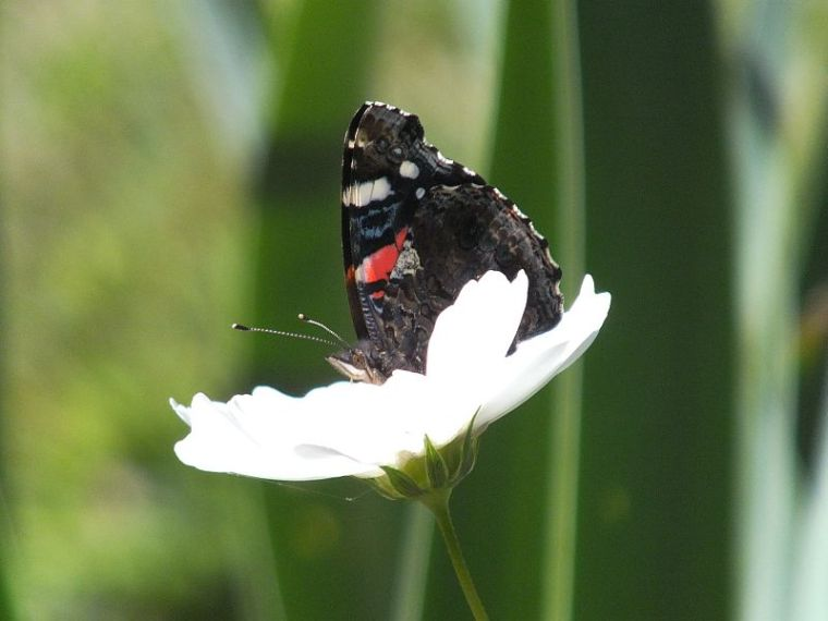 Birds, Bees, Butterflies, Tadpoles, Green Heron 040
