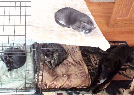 Clancy questions whether he must entertain his sibling cats as angels, especially if they appropriate his kennel.