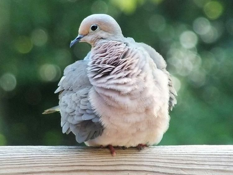 6-20-12-mourning-dove-grooming-004