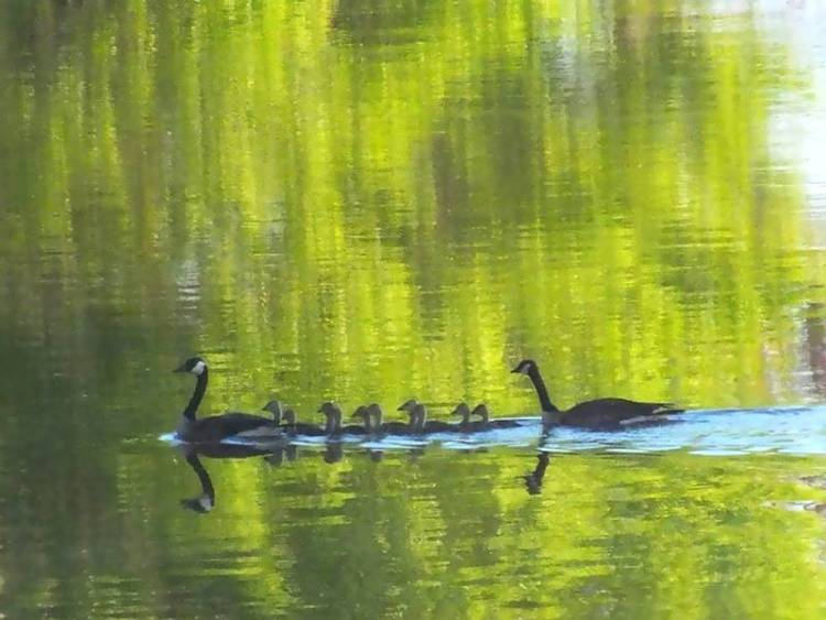 Canada Geese family gliding