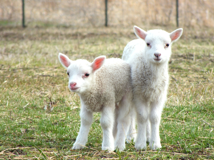 spring lambs2