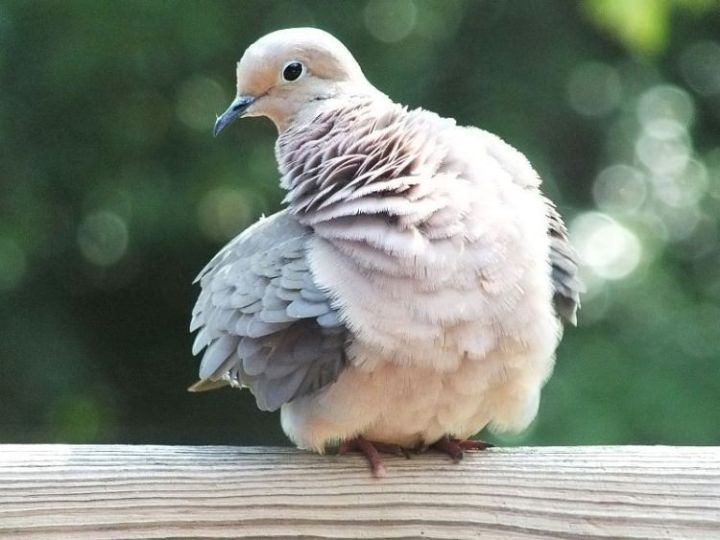 6-20-12-mourning-dove-grooming-001